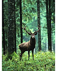 Arthouse Stag in Forest Canvas