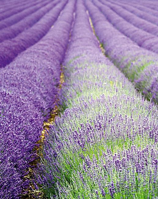 suttons lavender hidcote blue plants j d williams. Black Bedroom Furniture Sets. Home Design Ideas