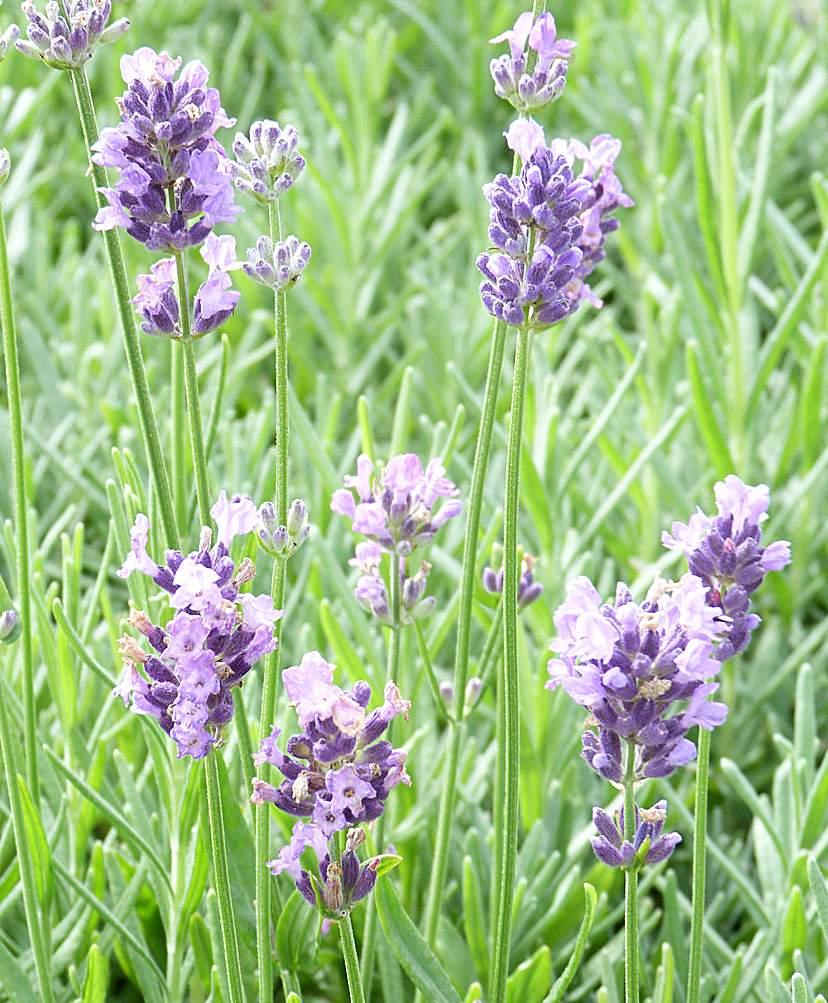 English Lavender (Lavandula 'Munstead')