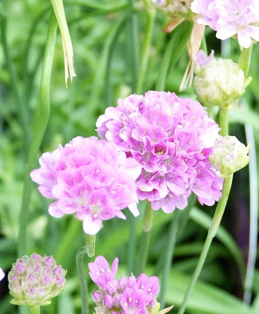 False Sea Thrift (Armeria Purple Rose)