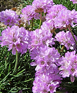 Juniper-leaf Thrift (Armeria Caespitosa)