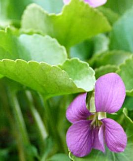 Purple Violet (Viola Rubra)
