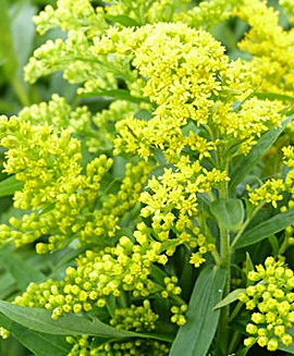 Goldenrod (Solidago