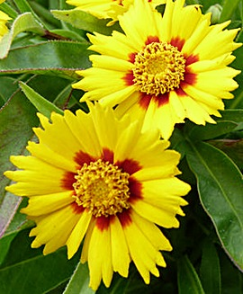 Golden Threadleaf (Coreopsis Baby Gold)