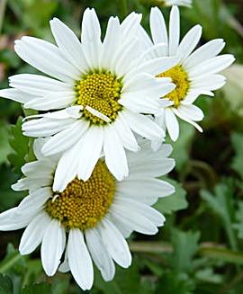 Shasta Daisy (Leucanthemum)
