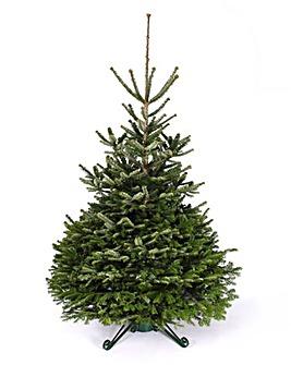Real Tree - Nordmann Fir 150-180cm