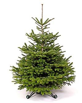 Real Tree - Nordmann Fir 180-210cm
