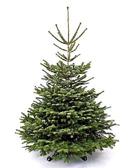 Real Tree - Nordmann Fir 210-240cm