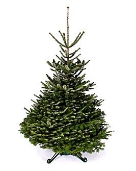 Real Tree - Nordmann Fir 240-270cm