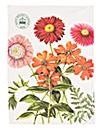 Kew Royal Botanical Garden Painted Daisy