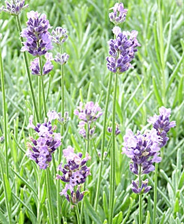 English Lavender (Lavandula