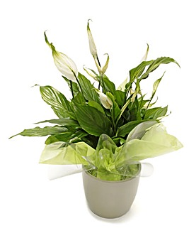 Peace Lily Potted Ceramic Pot Plant