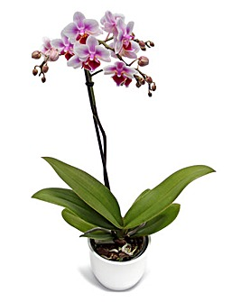 Phalaenopsis Orchid Single Spike Plant